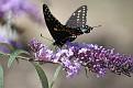 Black Swallowtail #13