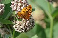 Great Spangled Fritillary #11