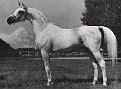 AALRIEF #14233 (Aarief x Binni, by Gulastra) 1958-1984 grey stallion bred by Lasma Arabian Stud; sired 93 registered purebreds