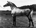ANCHOR HILL AMID #206192 (Al Metrabbi++ x Anchor Hill Evah, by Char Echo) 1980 grey stallion bred by Anchor Hill Arabians/ Dr and Mrs TE Atkinson