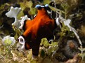 Flying Flatworm