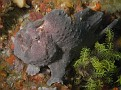 Commersons Frogfish