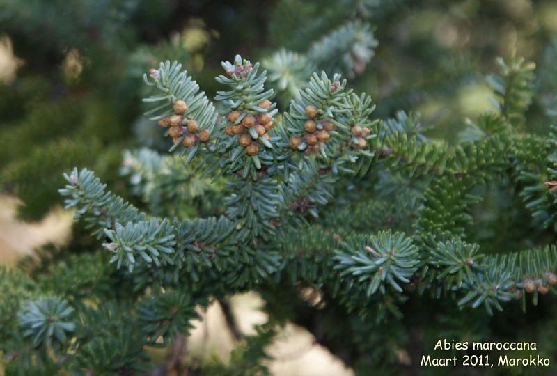 Photo Abies Pinsapo Var Marocana Abies Album Nora Goosen
