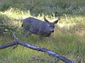 Deer - Yosemite