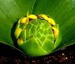 Daubenya aurea 'yellow' (4)
