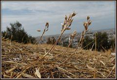 Allium hirtovaginatum (81)