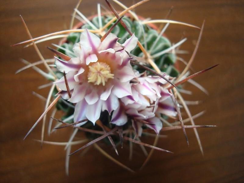 Echinofossulocactus sp = Stenocactus sp