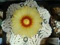 Astrophytum asterias cv. Hanazono Kabuto