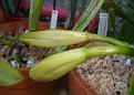 Cattleya labiata var Coerulea (1)