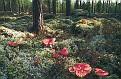 Russula paludosa