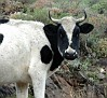 533767 cow