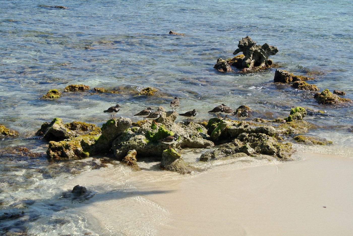 Sandpipers?