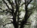 mossbigtree1