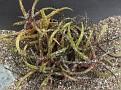 Aloe bakeri