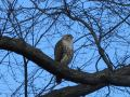 Red Tail Hawk Central Park