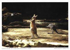 Australia - KANGAROO NA