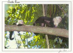 Costa Rica - WHITE FACED MONKEYS