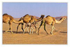 Eritrea - CAMEL NA