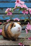 Guinea - GUINEA PIG NA