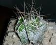 Astrophytum ornatum v. espirale