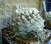 Turbinicarpus jauernigii