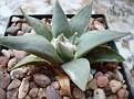 Ariocarpus retusus ' elongatus '