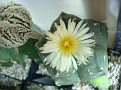 Astrophytum myriostigma 'Kikko'