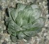 Haworthia obtusa variegata -Japan