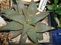 Haworthia koelmaniorum -eb