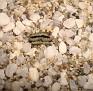 Haworthia truncata v. minor -NE of Kamanassie Dam