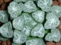 Haworthia maughanii Japan