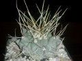 Thelocactus rinconensis yellow spines-SB032