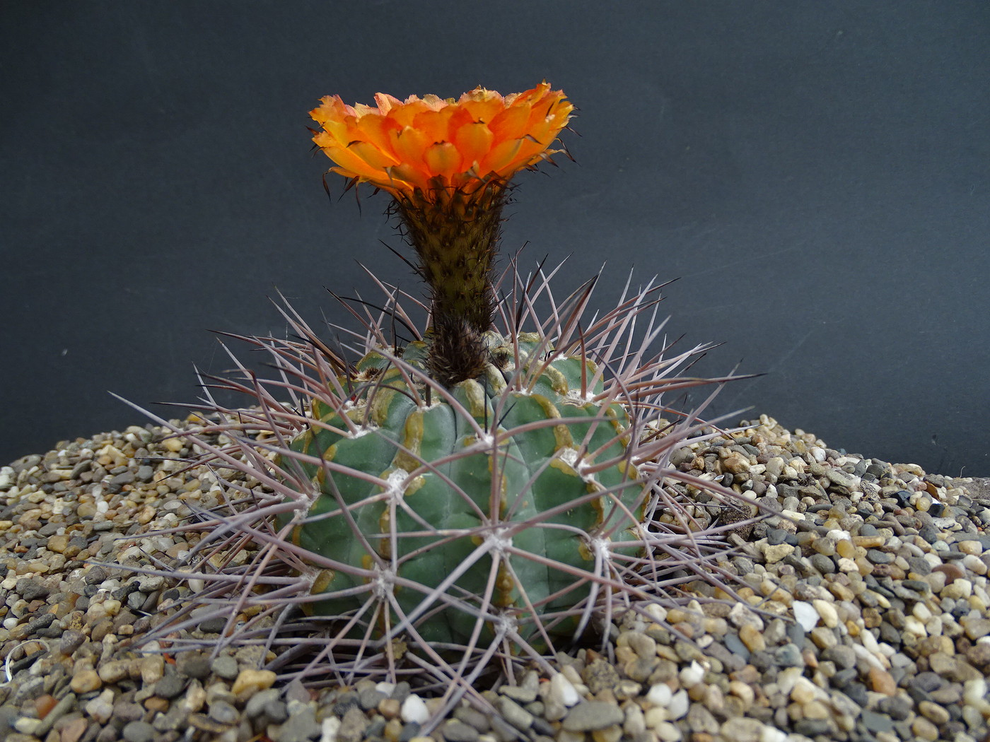 Photo Acanthocalycium Minutum Cactus Bol Cacti Album Cok