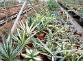 1. Agave collection