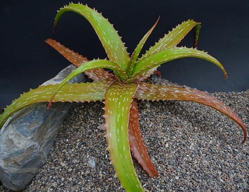 Aloe sp. Nova, Katanga