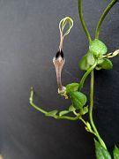 Ceropegia africana ssp. barklyi