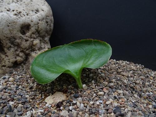 Eriospermum breviscapum