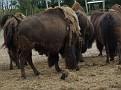 Bison bonasus  Bisons