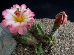 Echinocereus scheeri v. obscuriensis