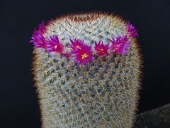 Mammillaria  vaupelii