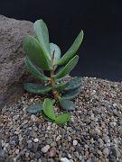 Adromischus sp. Fountain Rock CG579
