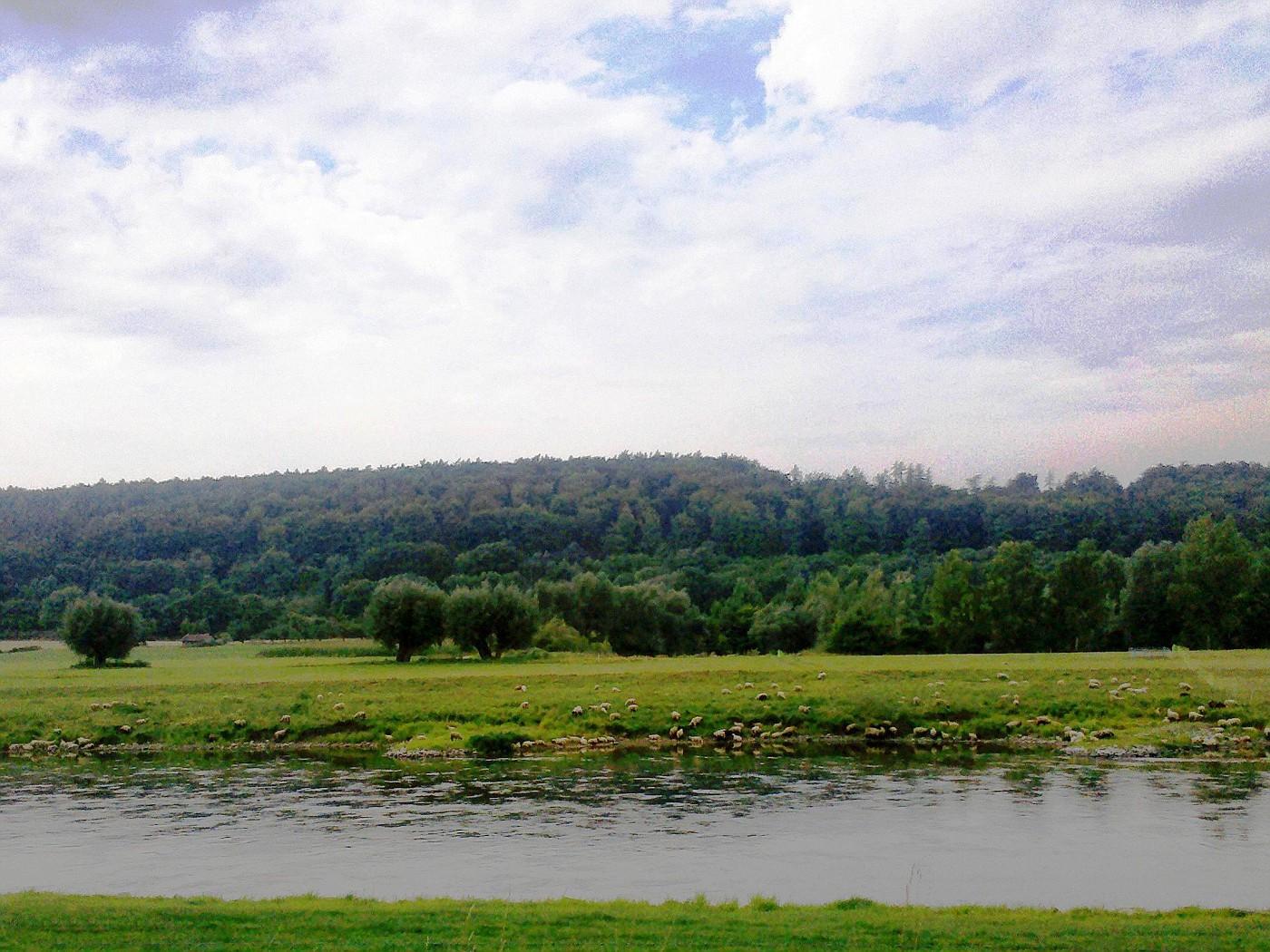 Schafe an der Weser