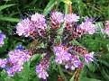 Bienenweide (Phacelia)