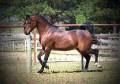 M A BAKKHRA #436253 (MA Bakkor x Countess Zahra, by Gay Count) 1989 bay stallion