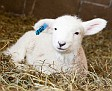 S12 Lambs-19
