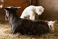 S12 Lambs-23