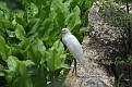 Snowy Egret #6