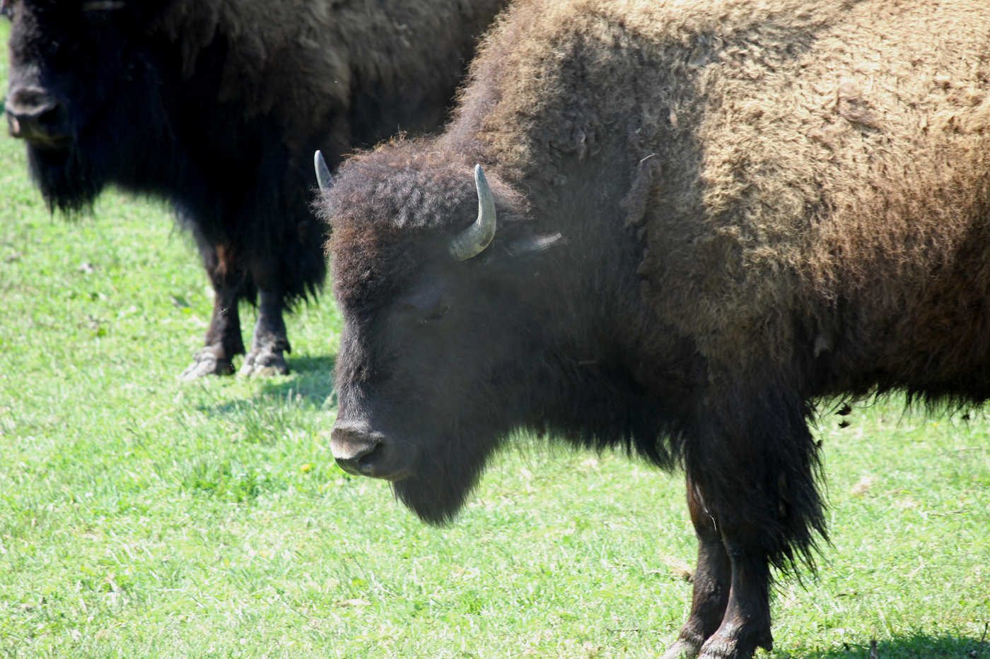Bison #5