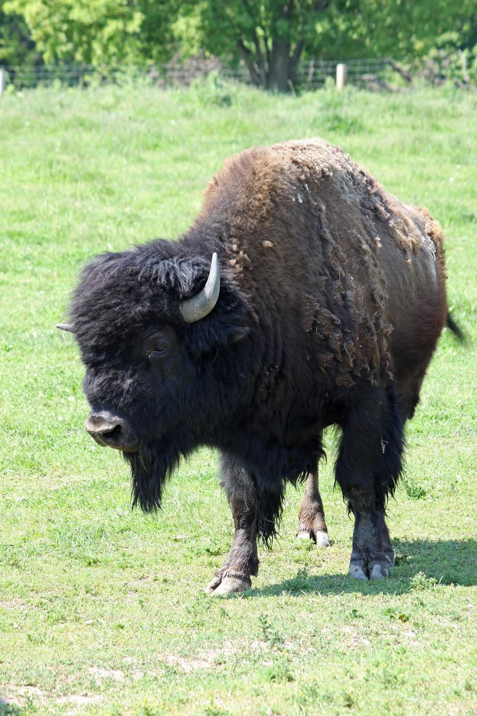 Bison #12