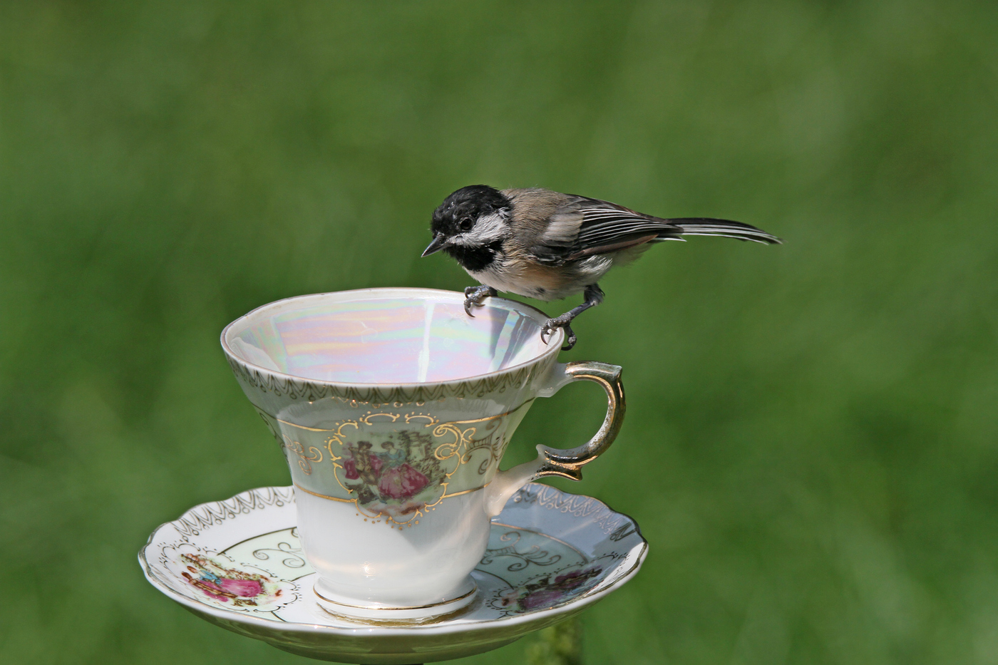 Chickadee at Teacup #27
